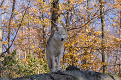 A lone Arctic Wolf in the fall woods. A lone Arctic Wolf in a colourful woods Stock Photo