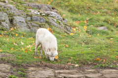 A lone Arctic Wolf in the fall woods. A lone Arctic Wolf in a colourful woods Stock Image