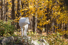 A lone Arctic Wolf in the fall woods. A lone Arctic Wolf in a colourful woods Royalty Free Stock Photo