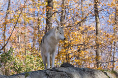 A lone Arctic Wolf in the fall woods. A lone Arctic Wolf in a colourful woods Royalty Free Stock Images
