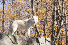 A lone Arctic Wolf in the fall woods. A lone Arctic Wolf in a colourful woods Stock Photos