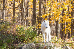 A lone Arctic Wolf in the fall woods. A lone Arctic Wolf in a colourful woods Stock Images