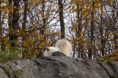 A lone Arctic Wolf in the fall woods. A lone Arctic Wolf in a colourful woods Stock Photography