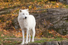 A lone Arctic Wolf in the fall woods. A lone Arctic Wolf in a colourful woods Royalty Free Stock Image