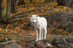 A lone Arctic Wolf in the fall woods. A lone Arctic Wolf in a colourful woods Royalty Free Stock Photography