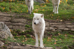 A lone Arctic Wolf in the fall woods. A lone Arctic Wolf in a colourful woods Royalty Free Stock Photos