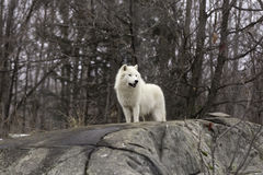A lone Arctic Wolf Stock Photography
