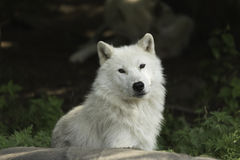 A lone Arctic wolf resting on a rock Royalty Free Stock Photo