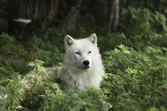 A lone Arctic wolf resting in a shaded area Royalty Free Stock Photos