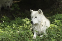 A lone Arctic wolf resting in a shaded area Stock Photography