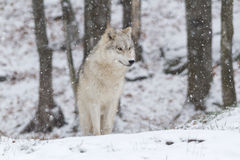 Lone Arctic Wolf in a winter scene Royalty Free Stock Photos