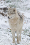 Lone Arctic Wolf in a winter scene Royalty Free Stock Image