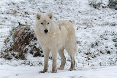 A Lone Arctic Wolf in a winter scene Royalty Free Stock Photos