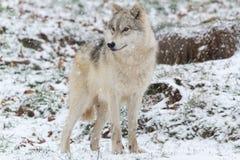 A Lone Arctic Wolf in a winter sceneLone Arctic Wolf in a winter scene Royalty Free Stock Photo