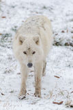 A Lone Arctic Wolf in a winter sceneLone Arctic Wolf in a winter scene Stock Photos