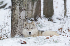 A Lone Arctic Wolf in a winter sceneLone Arctic Wolf in a winter scene Stock Image