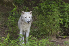 A lone Arctic Wolf in the woods Stock Photos