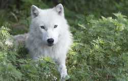 A lone Arctic Wolf in the woods Royalty Free Stock Photos