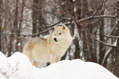 A lone Arctic Wolf in the woods. A lone Arctic Wolf in the winter woods Royalty Free Stock Photography