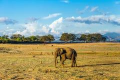 Lone asian elephant walking Stock Photography