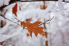 Lone autumn autumn leaf under snow in november day. Royalty Free Stock Photography