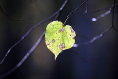 Lone autumn leaf on the tree Stock Images