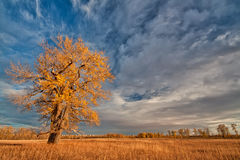Lone Autumn Tree. Lone yellow autumn tree in a grassy field Stock Photo