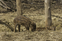 Lone baby boar in the woods Stock Photography