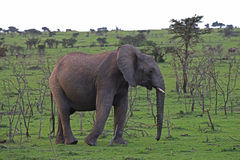 Lone Baby Elephant. Grazes South African planes Royalty Free Stock Image
