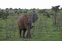 Lone Baby Elephant. Baby Elephant grazing the plains of south Africa Royalty Free Stock Photos