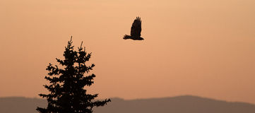Lone backlit Hawk flying at sunrise on Sykes Ridge in the Pryor Mountains in Wyoming. USA Stock Photos