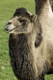 Lone bactrian camel on a farm. Bactrian camel standing looking to the distance in a green pasture Stock Images