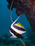 Lone bannerfish. A lone longfin banner fish under a rock Stock Images