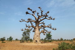 lone baobab Royaltyfri Bild