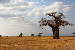 Lone Baobab on the African Savannah. A lone baobab tree stands against the African savannah stock photos