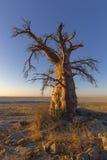 Lone Baobab Tree at Sunrise Royalty Free Stock Photography