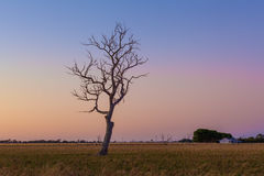 Lone bare dry tree in field at sunset. Royalty Free Stock Photography