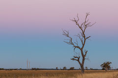 Lone bare dry tree in yellow field at pink dusk. Stock Photography