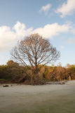 Lone Bare Pine Tree on Edge of Beach Stock Images