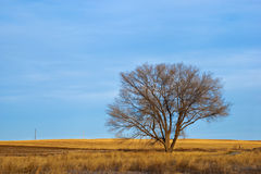 Lone Bare Tree in Winter on the Prairie Royalty Free Stock Image