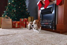 A lone beagle on the carpet with Christmas gifts in front of the Stock Photos