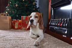 A lone beagle on the carpet with Christmas gifts in front of the Royalty Free Stock Photos