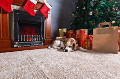 A lone beagle on the carpet with Christmas gifts in front of the Royalty Free Stock Images