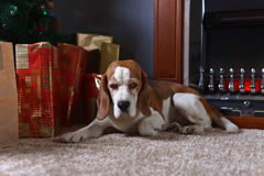A lone beagle on the carpet with Christmas gifts in front of the Royalty Free Stock Photography