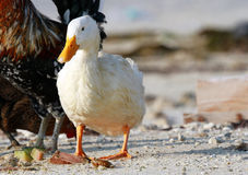 Lone beautiful domestic duck Stock Photos