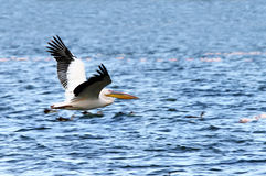 A lone beautiful great Pelican flying above the Lake Naivisha Stock Photo