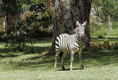 A lone beautiful Zebra Stock Image