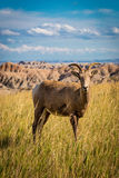 Lone Big Horn Sheep in the grass Royalty Free Stock Images