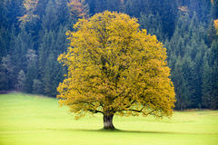 Lone big maple tree in autumn Stock Photo