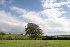 Lone big tree in a field Stock Photography
